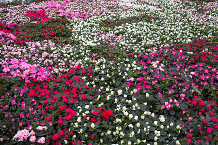 Plantation with flowers, roses. Commercial cultivation roses in a greenhouse Zdjęcie Seryjne