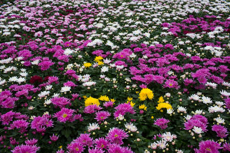 Plantation with flowers, aster. Commercial cultivation of flowers in a greenhouse