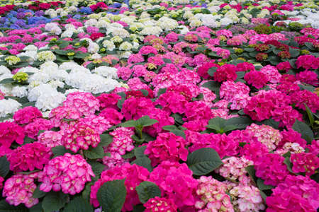 Plantation with flowers, hydrangea. Commercial cultivation of flowers in a greenhouse