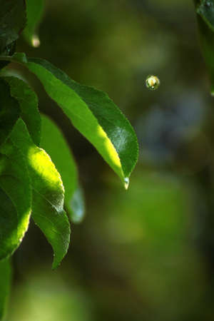 close up fresh green leaves with a big raindrop photo
