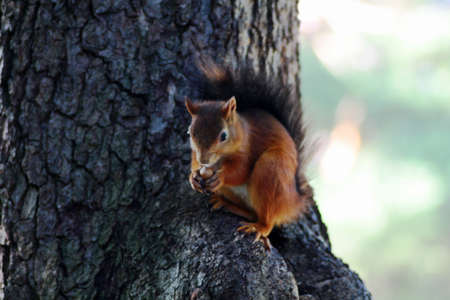 close up red squirrel eating forest nut photo