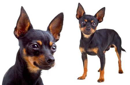 Russian toy terrier. photo