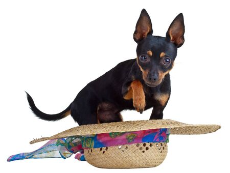 It is very small, charming dog called the Russian toy terrier!Russian toy terriers are very gentle and graceful small dogs that look similar to miniature deer or fawns with their brittle, delicate legs, short docked tails, swan neck, and refined small hea photo