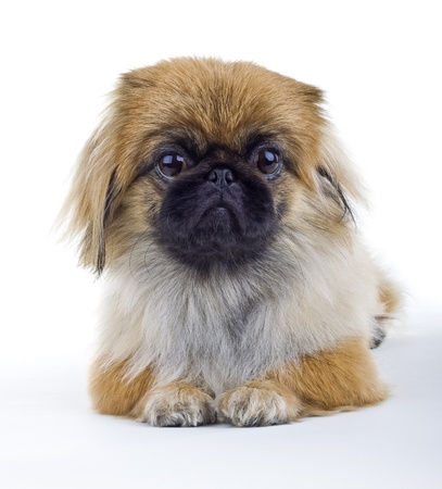 Pekinese dog on a light background