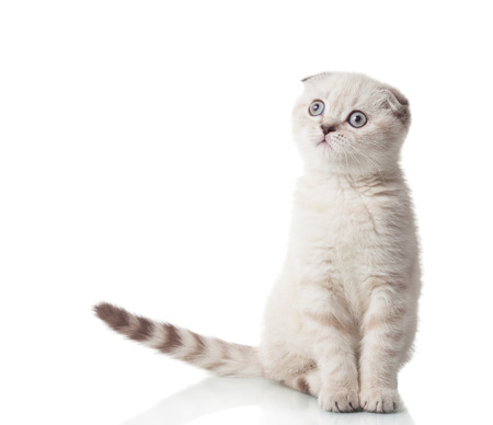 true bred: Scottish Fold breed of cat in full growth, isolated on a white background Stock Photo