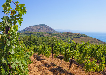 villa: Rows of vines during the day, far away mountains and the sea