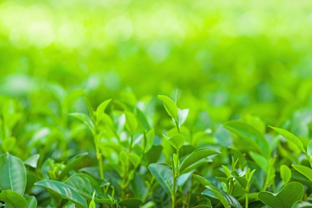 ceylon: Tea leaves at a plantation in the beams of sunlight Stock Photo