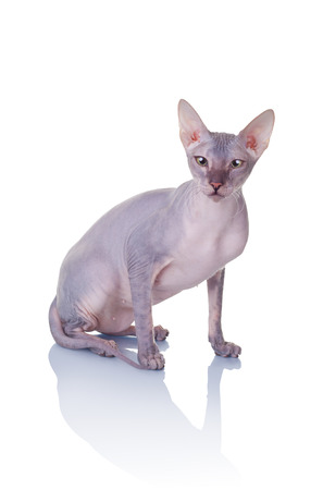 bare skinned: Cat of Don Sphynx breed isolated on white background
