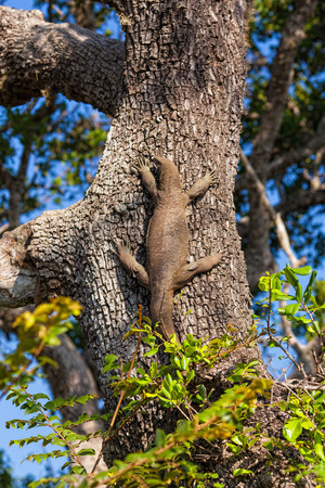 Varanus komodoensis sitting on a large tree in the Yala National Park, Sri Lanka photo