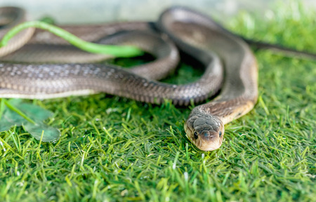 slither: Cobra snake in the background of green grass Stock Photo