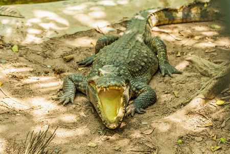 alligator eyes: Alligator with mouth open in the wild Stock Photo
