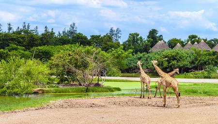 Group of giraffes in a Safari World park in Bangkok, Thailand