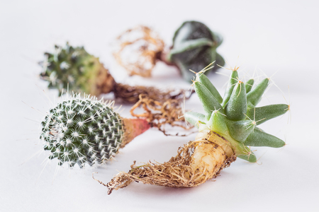 various cactuses with roots before planting on a light background top view