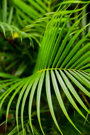 Palm leaf in garden. Background contains othr leaves. Close up shot. Ecologocal and botanical concept. Stock fotó