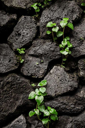 Porous black stones with texture. Small plant sprout makes its way. Close-up. Structure shot with black background. Wallpaper concept. Big desire to live.