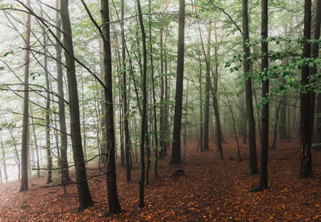 Foggy and cloudy alley in the forest park. Autumn season . Romantic walky mood. Postcard concept. Perspective picture of the trees. Ecological problem nature.