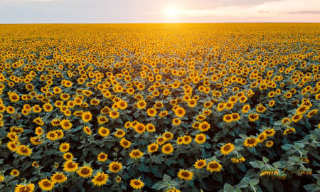 Beautiful picture of the sunflower field in the sunset rays and light. Aerial shot. Panoramic view and sky on background. Yellow and green colours. Postcard and agriculture concept.