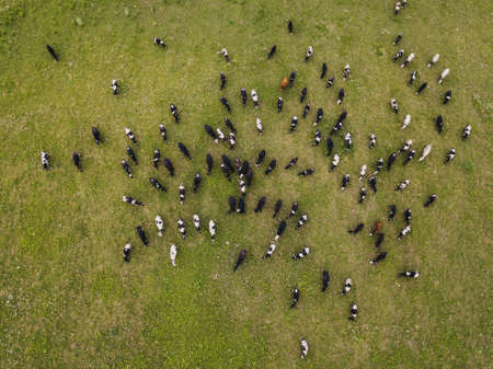 Cows graze in a meadow in a field. Aerial view from above from a drone. Picture from the top. Pasture and green grass. Panoramic shot. Farming and agricultural concept. Stok Fotoğraf