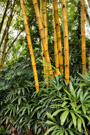 Yellow trunks of bamboo tree in green garden forest. This shot shows structure and texture. Ecological nature concept. Zen garden.