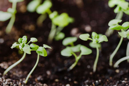 Group of green sprouts growing out of the ground before seedlings. Spring gardening and planting concept. Micro green and horticulture. Ecological and botanical theme. Selective focus. Stok Fotoğraf