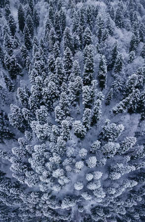 Aerial top view to snowy moutain trees of winter pines. Vertical shot. Middle of the winter. High needles in the forest. Beautiful nature landscape from drone. Dombai, Russia. Stok Fotoğraf
