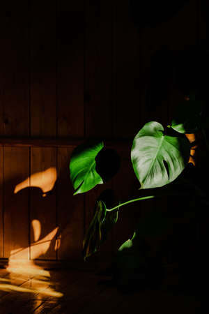 Monstera flower in the sunshine on a dark homogeneous background. Beautiful shadows on the wood wall. Green leaves. Vertical shot of home flora. Stok Fotoğraf