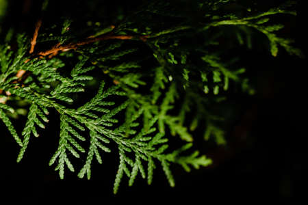Thuja. Leaf of a tree close-up on a contrasting dark background. Texture and structure. Copy space. Ecological and care of nature concept. Selective focus. Perspective of leaves.