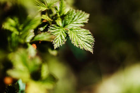 Young raspberry leaves bloom in spring. Young tree growing at the spring. The buds have bloomed. Close-up plan. Copy space. Ecological and birth concept. Buds bloom on a tree. Selective focus.