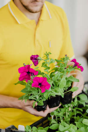 Man in yellow clothes takes seedlings with petunia flowers to plant them. Close-up vertical shot. Spring season. Preparation for the summer season. Gardening and plant growing concept. Small pot. Stok Fotoğraf