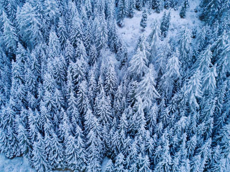 Aerial top view to snowy trees of winter pines. Middle of the winter. High needles in the forest. Beautiful nature landscape from drone. Blue colour of the year. Texture, pattern and structure.