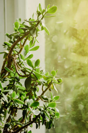 Houseplant Crassula flower on the window. Vertical shot. Sunlight. Nature decoration botanical concept. Horticultural theme.