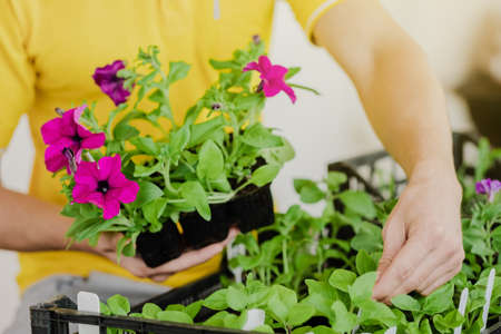 Man in yellow clothes takes seedlings with petunia flowers to plant them. Close-up plan. Spring season. Preparation for the summer season. Gardening and plant growing concept. Small pot.