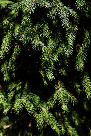 Branches of blue spruce. Close-up. Needles on the tree. Vertical shot. Ecological and planting concept. Safety of our planet. Copy space.