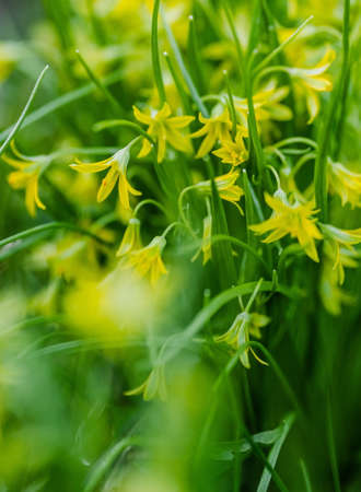 Goose onions flowers. Yellow snowdrop and Gagea lutea. Spring and summer preparation concept. Ecological and horticulture. Close-up. Green grass and selective focus. Wild plants. Vertical shot.