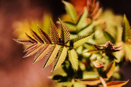 Mountain ash spiraea at spring. Spirea Sorbaria sorbifolia, horticulture. Red, orange, and yellow leaf with copy space. Spring gardening and planting concept. Ecological and botanical theme. Stok Fotoğraf
