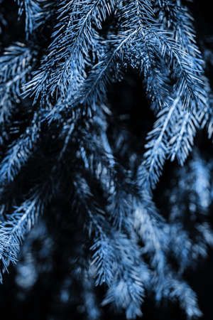 Branches of blue spruce. Close-up. Colour of the year. Needles on the tree. Ecological and planting concept. Safety of our planet. Copy space. Stok Fotoğraf