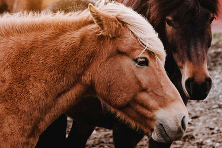 Icelandic horses graze in the field. Close-up. Beautiful red hair and long shaggy bang. Livestock and pastoralism. Farm. A rare unique breed.