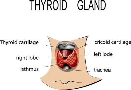 illustration of human thyroid gland. normal anatomy