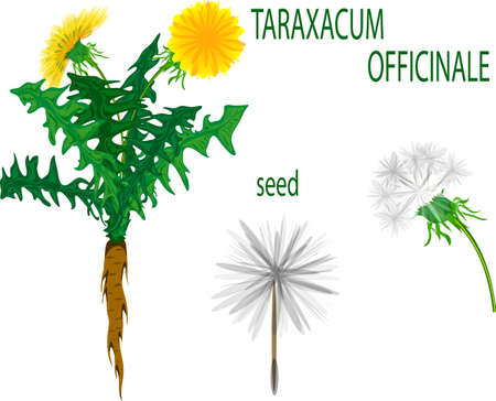 dandelion seed: illustration of a dandelion, seed and root. Taraxacum Officinale.