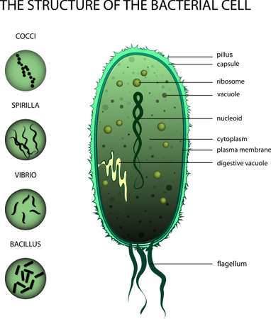 vibrio: ILLUSTRATION OF THE STRUCTURE OF THE BACTERIAL CELL