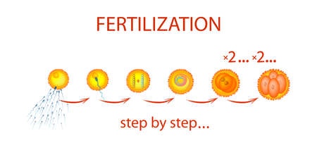 morula: An illustration of the process of fertilization step by step. The text on a separate layer.