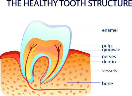 dentin: ILLUSTRFTION OF THE HEALTHY TOOTH STRUCTURE. anatomy