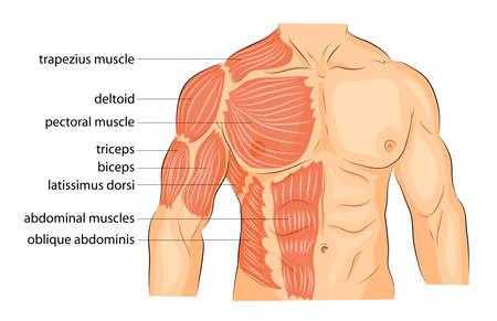 male chest: illustration of a male body arms shoulders chest and abs. bodybuilding