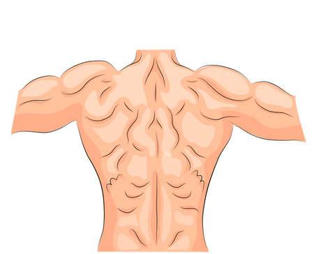illustration of back muscles bodybuilder. spine. sport.