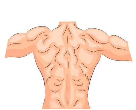 illustration of back muscles bodybuilder. spine. sport.