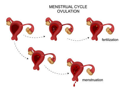 fertilisation: vector illustration of female reproductive organs. Menstrual cycle.