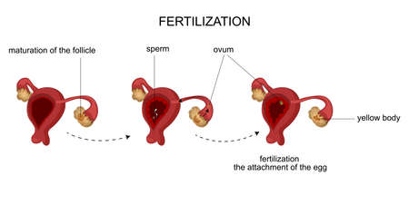 menstrual: vector illustration of female reproductive organs. Menstrual cycle.