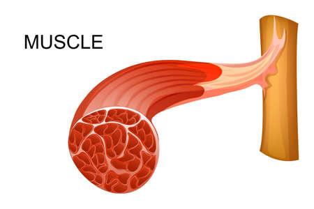 Tıbbi yayınlar için kas liflerinin anatomisinin vektör çizim