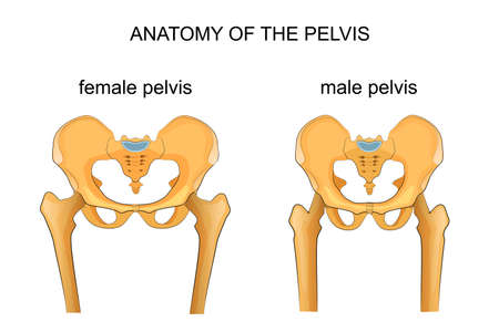 vector illustration of a comparison of the skeleton of the male and female pelvis Stock Illustratie