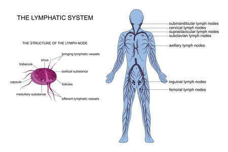 vector illustration of anatomy of the lymphatic system Vector Illustration